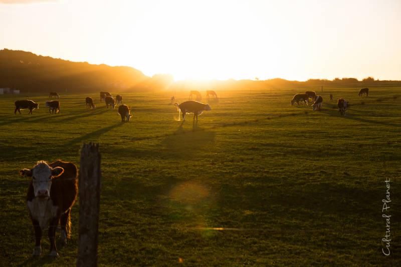 Vaca meando