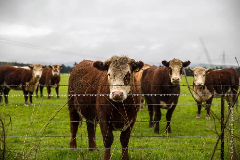 Vacas Nueva Zelanda